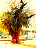 Ashera árvore (ashera08) Tags: ashera árvores amizades paisagens photos portugal paintings picture portugalárvores milagres país mitologia