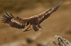Steppe eagle (Zahoor-Salmi) Tags: zahoorsalmi salmi wildlife pakistan wwf nature natural canon birds watch animals bbc flickr google discovery chanals tv lens camera 7d mark 2 beutty photo macro action walpapers bhalwal punjab
