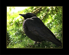 My handsome friend... (Marcia Portess-Thanks for a million+ views.) Tags: myhandsomeneighbour map marciaportess crow cuervo blackbird feathers black noir profile animal wildlife vancouvercanada westendvancouver bigtree nature branches lanaturaleza ave