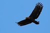 Crested Serpent Eagle (mikleyu) Tags: bird animal eagle