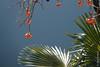 Plaqueminier (Diospyros kaki) et Palmier au bord du Lago di Lugano à Gandria (Tessin), en hiver (25/12/2017 -13) (Cary Greisch) Tags: che carygreisch diospyroskaki gandria kaki kakibaum plaqueminier sentierodellolivo switzerland ticino