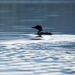 Loon on the Water thumbnail