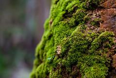 Moss - Myakka River State Park (Cracked_Lens) Tags: macro macronature macroshot macrodreams macrophotography trailblazing trail hikingtrail floridatrail walkingthetrail hikingphotography hiking hikingphotos floridahiking floridanature florida moss