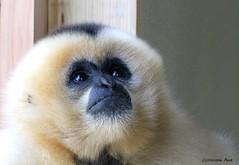 Gibbon à favoris roux_TIA NANG (Passion Animaux & Photos) Tags: primate gibbon favoris roux monkey yellowcrestedgibbon parc animalier saintecroix france
