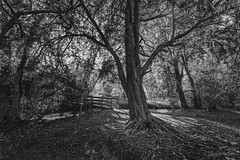 Veteran (shawn~white) Tags: bw blackandwhite canon6d ceredigion ef1635f4lis greatbritain nature shawnwhite uk wales wideangle bold confidence conviction deciduous enchanting forest hardwood powerful strength tree trees winter wonder wood woodland woods