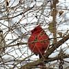 Backyard visitor (Cardinal) 1 (~nevikk~) Tags: tuesday1022018misc winter cardinal