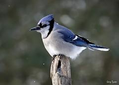 Blue Jay (GaryT48) Tags: bluejay cyanocittacristata tiogacounty pennsylvania