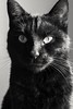S2 : black and white .... baboun, ma petite panthère (Carozib) Tags: baboun chat noir cat projet52 black white blanc blancjacquier caroline carozib animal portrait face profil courbe vision regard eye yeux fixe allure elegance félin