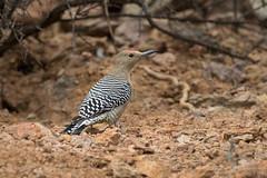 Gila Woodpecker (Turk Images) Tags: gilawoodpecker melanerpesuropygialis saguaronationalparktucsonmountaindistrict arizona birds desert giwo picidae tucson winter woodpecker