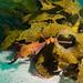 Still going - Phyllopteryx taeniolatus weedy seadragon #marineexplorer