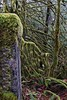Tangle (johnscratchley) Tags: landscape nature forests old growth vancouverisland hdr