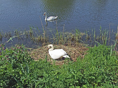 Mute Swan on eggs in nest with mate (Philip_Goddard) Tags: europe unitedkingdom britain british britishisles greatbritain uk england southwestengland devon exeter exetershipcanal canal exetercanal riversidevalleypark nature naturalhistory animals vertebrates birds anatidae cygnus swans cygnusolor muteswan nest eggs