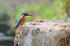 King himself! (theviewfinder) Tags: kingfisher smallbluekingfisher wayanad birds birdphotography avianlife nikon nikon300mmf4 tc14ii midhun midhunthomas midhunjohnthomas d3s