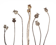 Poppies (Funchye) Tags: poppies pods capsules nikon d610 60mm