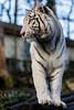 White Tiger (Rami Khanna-Prade) Tags: eucistisme mélanine pheomelanin zoobeauval tiger whitetiger panthera tigris pantheratigristigris animalia chordata mammalia carnivora felidae pttigris ptigris