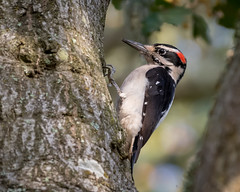 Hairy Woodpecker (Becky Matsubara) Tags: avian bird birds california ebrpd eastbayregionalparks hawo hairywoodpecker nature outdoors picchevelu picoidesvillosus sobranteridge sobranteridgeregionalpreserve wildlife woodpecker ebparksok