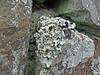 Parmotrema perlatum (Philip_Goddard) Tags: parmotremaperlatum parmeliaperlata parmotrema parmelia lichens foliose saxicolous nature naturalhistory southwestengland england unitedkingdom britain british britishisles greatbritain uk europe