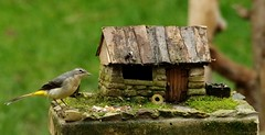 grey wagtail on micro house bird table (Simon Dell Photography) Tags: grey wagtail micro garden small cottage house borrower village model nature wildlife bird sheffield uk england british winter autumn spring wild area action dark simon dell photography