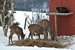 """Please call 911""..... (KvikneFoto) Tags: rådyr roedeer natur norge hedmark kvikne bobkatt katt cat vinter winter snø snow"