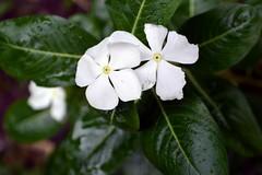WOL Calauan Laguna Philippines Day 2 (257) (Beadmanhere) Tags: philippines flowers