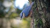Interested (_J @BRX) Tags: nuthatch rspb leightonmoss january2018 lancashire england uk winter bird nikon d5200