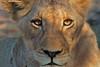 Con la luce negli occhi-With the light in the eyes (giorgio.contatto) Tags: lioness portrait botswana lion africa