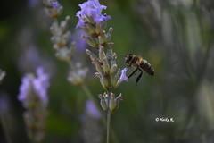Harmony (heikecita) Tags: macro makro blume plant biene bee pflanze nature natur sommer summer lavendel lavender nikonflickraward bokeh