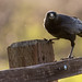 Crow on the Fence