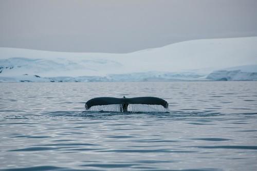795823bd6eb Eriti võimas vaatepilt on kui vaalad peale kahe-kolme kordset vee välja  puhistamist end sukelduma sätivad ja seejärel saba justkui hüvastijätu  lehvituseks ...