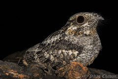 Jungle Nightjar. (Vikas.B.Chavan) Tags: junglenightjar caprimulgusindicus nikond7100 afsnikkor300mmf4difed bhimgad