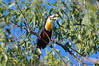 Ramphastos dicolorus (Red-breasted Toucan) (Guilherme Fialho Soares) Tags: nature bird photographer photography tree forest eyes animal blue sky brazil beauty beautiful love cute nikon day morning light life earth photo picture artistic art artist