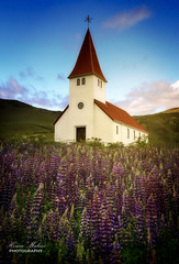 lupines (dochema2000) Tags: ifttt 500px nature summer beautiful iceland steeple lupines