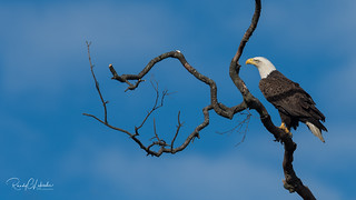 Bald Eagles of the Jersey Shore | 2018 - 15