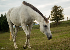 The white horse (Irina1010) Tags: horse white pasture nature animal berry canon