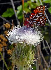Gulf Fritillary on Thistle (mudder_bbc) Tags: butterflies fritillary gulffritillary thistle whitethistle florida sanibelisland explore