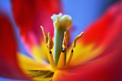 inside (andreea_mihailiuc) Tags: tulip flower plant inside colors focus background nikon nikond3200 nikonphotography 40mmf28 40mm red love relaxing indoor andreeamihailiuc beautiful beauty delightful delicate