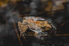 Southern Cricket Frog (ashercurri) Tags: youngsville nc north carolina animal planet frog herp herping macro nature amphibian sony a7ii southern cricket acris gryllus