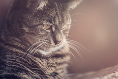 Wilbur (Christina Draper) Tags: cat pet feline tiger tabby light whiskers eyes