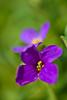 Rock cress (pstenzel71) Tags: blumen natur pflanzen flower rockcress blaukissen aubrietahybrida bokeh darktable samsungnx