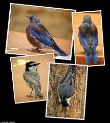 20160821_38k Western bluebird (Sialia mexicana), mountain chickadee (Poecile gambeli), & white-breasted nuthatch (Sitta carolinensis) | Bryce Canyon, Utah | MY 2ND EXPLORE PHOTO! :D (ratexla) Tags: ratexlasfameandglory explore nonhumananimals ratexlasgreentortoisetrip2016 dinosaur ratexlascanyonsofthewesttrip2016 1000views greentortoise canyonsofthewest 21aug2016 2016 canonpowershotsx50hs bryce brycecanyon utah usa theus unitedstates theunitedstates america northamerica nordamerika earth tellus photophotospicturepicturesimageimagesfotofotonbildbilder wanderlust travel travelling traveling journey vacation holiday semester resaresor ontheroad hiking hike sommar summer beautiful nature wildlife animals cute biology djur bird birds fågel fåglar wild vild life organism nonhumananimal animal dinosaurs dinosaurie dinosaurier blue feather feathers blå fjäder fjädrar polyptych tetraptych favorite westernbluebird sialiamexicana whitebreastednuthatch sittacarolinensis mountainchickadee poecilegambeli fuckingcool