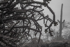 Tum08_small (patcaribou) Tags: tucson tumamochill sonorandesert fog cactii saguarocactus
