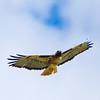 Briones Red Tail-3579 (alankrakauer) Tags: ebrpd briones parks publiclands openspace wildlife nature hawk raptor soar sky