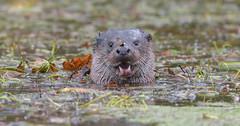 Otter (KHR Images) Tags: otter lutralutra wild mammal mustelid eurasianotter river norfolk wildlife nature nikon d500 raining kevinrobson khrimages