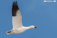 Snow Goose In Flight (freshairphoto) Tags: snow goose blue white black flight portrait middle creek wildlife management area kleinfeltersville pa artspearing nikon d500 200500 zoom handheld