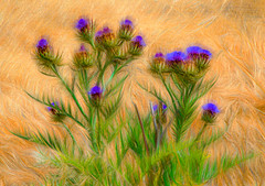 Wild Thistle (painterly) (FotoGrazio) Tags: botany waynegrazio waynesgrazio wildflowers art beautiful blooming blossom botanical closeup composition fineart flora floral flower flowers fotograzio garden lovely mothernature nature painterly phototoart phototopainting plant purple purpleflowers texture thistle