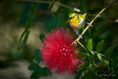 Japanese White Eye Bird (Re_Ne) Tags: sony reku green red flower eye white whiteeye japanese birds bird nature taiwan taipei