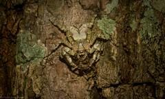 Stephanopis altifrons (dustaway) Tags: arthropoda arachnida araneae araneomorphae thomisidae stephanopinae stephanopis crabspider barkcrabspider spiderwithprey rosewood tamborinemountain mounttamborine sequeensland queensland australia