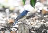 Make a bow -1st- (ogawa san) Tags: redflankedbluetail bluebird bow gesture happy kanagawa ayase japan bird wildbird pretty ルリビタキ 仕草 お辞儀 日本