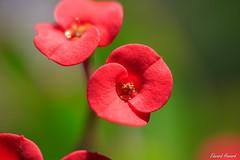 Pretty little flowers (edzwa) Tags: sydney newsouthwales australia au flowers flower macroflower macro canon6dmarkii canon100mmf28lmacro garden
