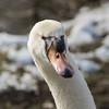 Schwan (siegmarkälberer) Tags: schwan vogel wasservogel winter natur